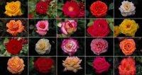 Розы - история селекции